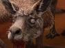 kangury_mikro